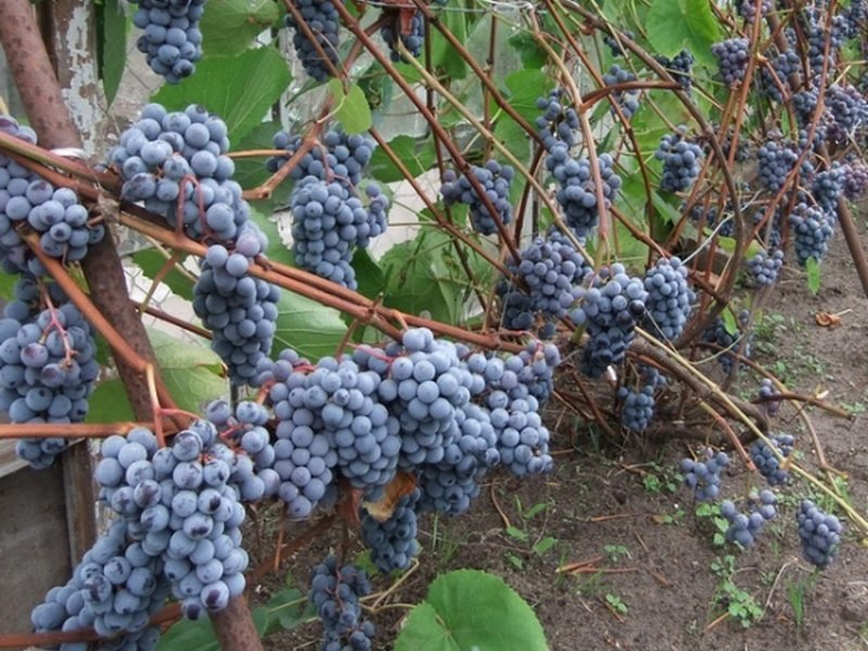 На фото сорт винограда Зилга