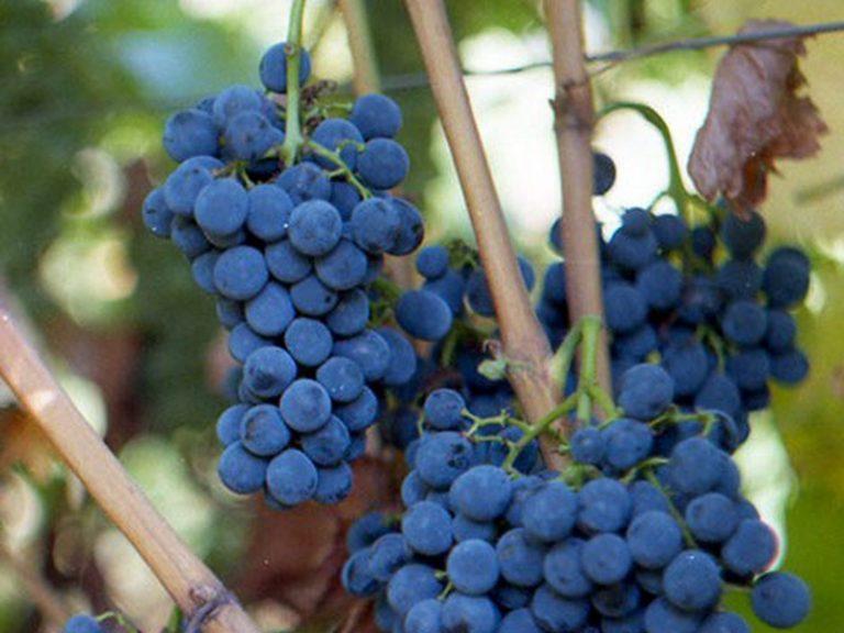 для сорта средней полосы винограда фото названия