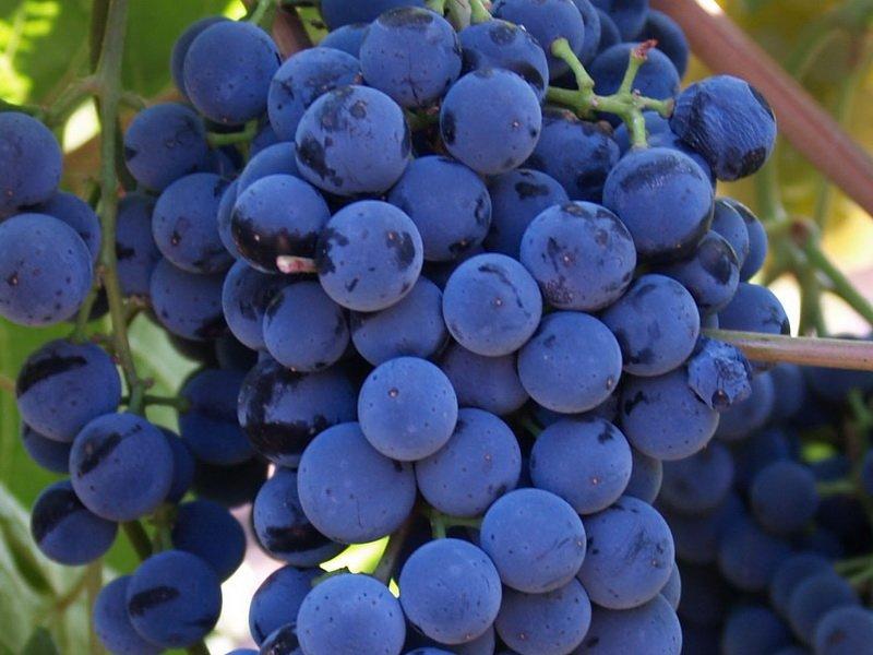 Ягода винограда Казачка на фото