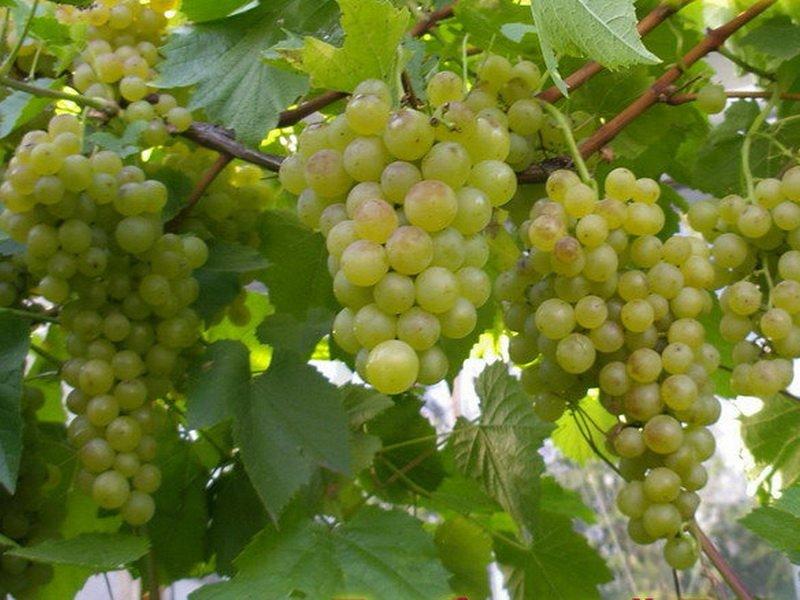 На фото сорт винограда  Краса севера