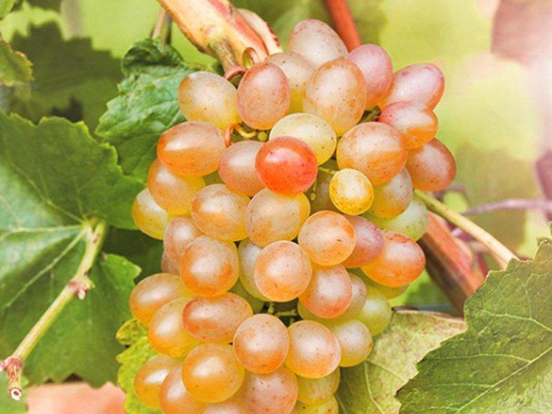 Ягода винограда  Краса севера на фото