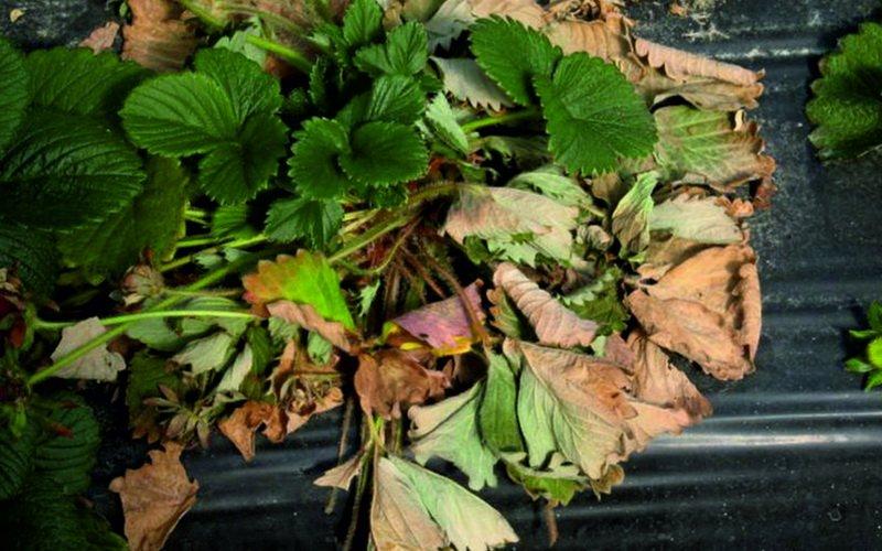 Болезни увядания листьев клубники и земляники (с фотографиями)