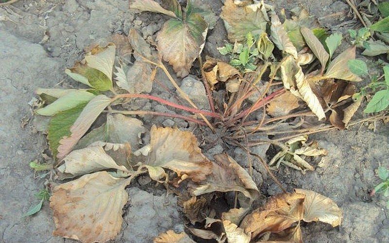 Болезни увядания листьев клубники и земляники (с фотографиями) фото