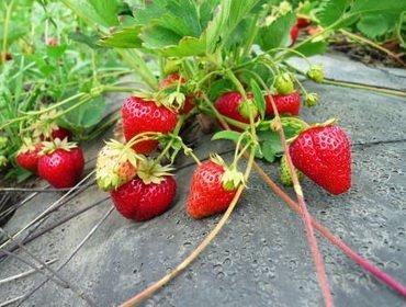 Вегетативное и семенное размножение земляники