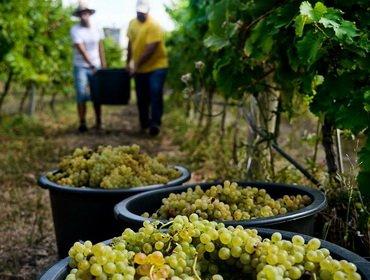 Календарь работ на винограднике на 2017 год
