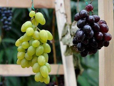 Как правильно выбрать виноград: группы сортов