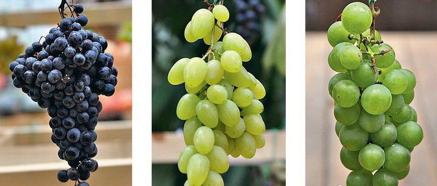 Сорта винограда по сроку созревания и вкусовым качествам