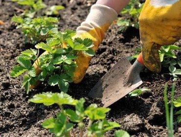 Выбор рассады садовой клубники и сроки посадки весной