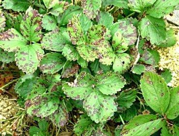 Клубника садовая: посадка и уход, обрезка и размножение, сорта с фото