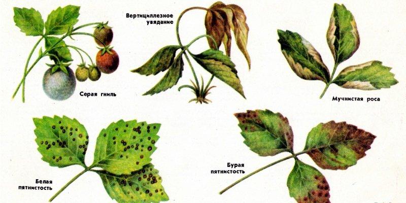 Какие существуют болезни листа клубники и их лечение в картинках фото