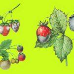 Средства и способы борьбы с вредителями земляники