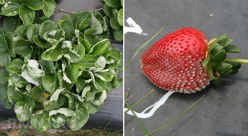 Чем опрыскать клубнику весной для обработки от болезней (с видео)
