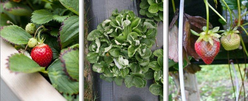 Вирусные болезни земляники садовой на фото