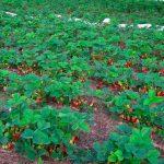 Посадка клубники осенью, когда и как посадить