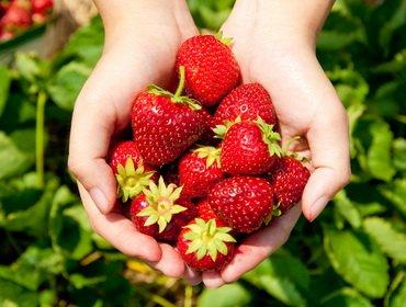 Сорта земляники садовой (клубники): ранние, средние, поздние, ремонтантные, нейтрального светового дня, белоплодные