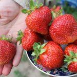 Сорта клубники (земляники садовой): описание с фото