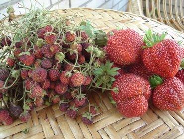 Виды и сорта мелкоплодной садовой земляники