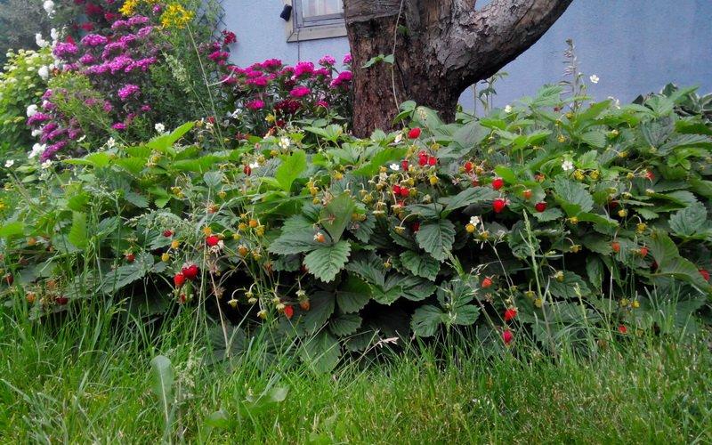Какие сорта мелкой земляники лучше посадить на участке?