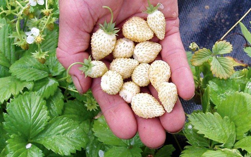 Мелкая садовая земляника с белыми ягодами
