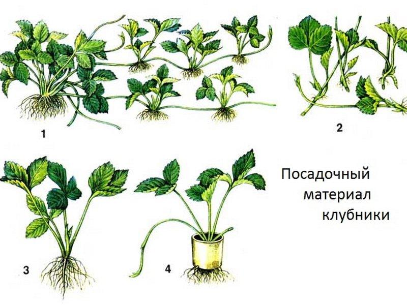 Как рассадить клубнику усами летом