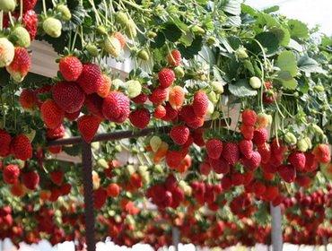 Агротехника выращивания клубники круглый год в теплице и домашних условиях