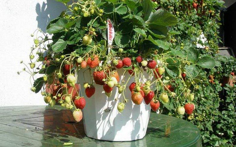 Выращивание клубники в балконных ящиках над землей