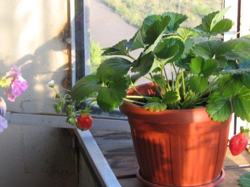 Клубника выращивание дома в квартире 55