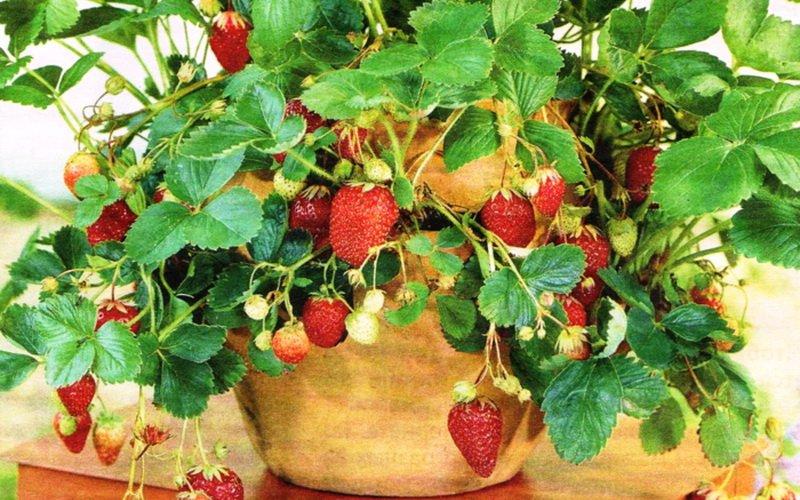 """Сорт клубники """"Трибьют"""" очень красиво выглядят свисающие цветущие усы."""