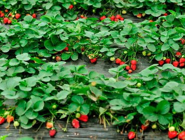Как вырастить клубнику на даче