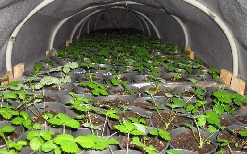 Технология выращивание клубники и земляники из семян: агротехника