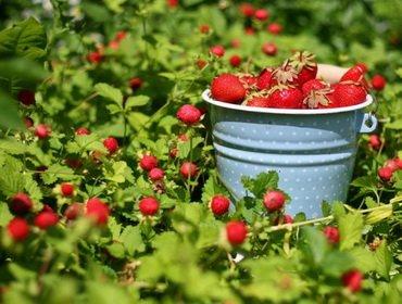 Правильный уход за садовой клубникой на даче летом