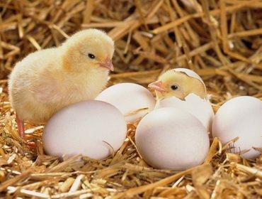 Инкубация куриных яиц и выращивание цыплят