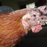 Болезни кур несушек: фото, симптомы и их лечение в домашних условиях
