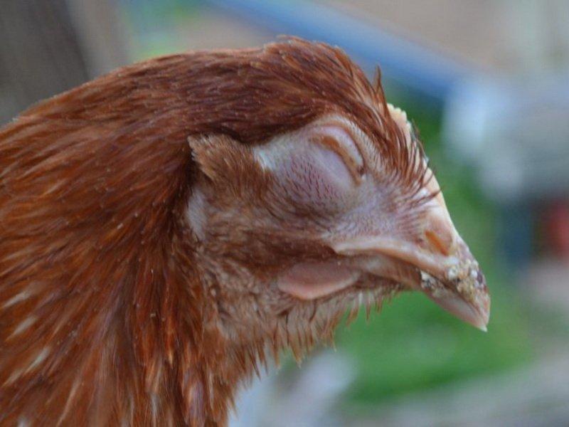 Воспаление и отечность конъюнктивы у кур