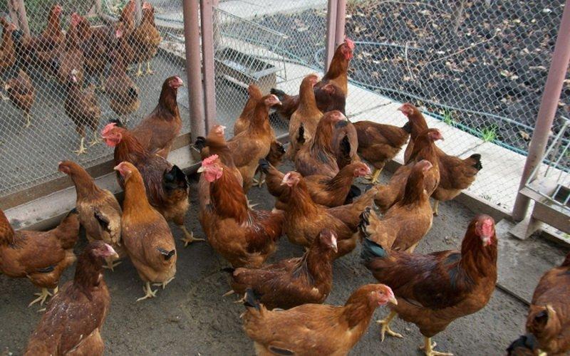 Содержание куриц несушек в домашних условиях 182