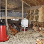 Содержание кур несушек в домашних условиях для начинающих: уход и разведение