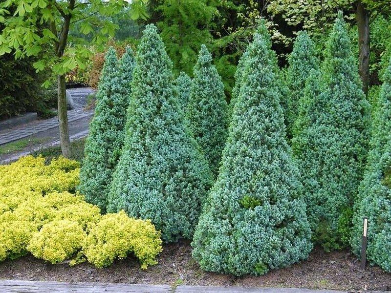 Ель - Picea на фото