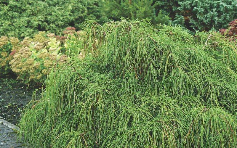 Кипарисовик 'Filiferai' - веточки длинные, свисающие. При высадке в «каскаде» мелкие формы напоминают бегущую воду