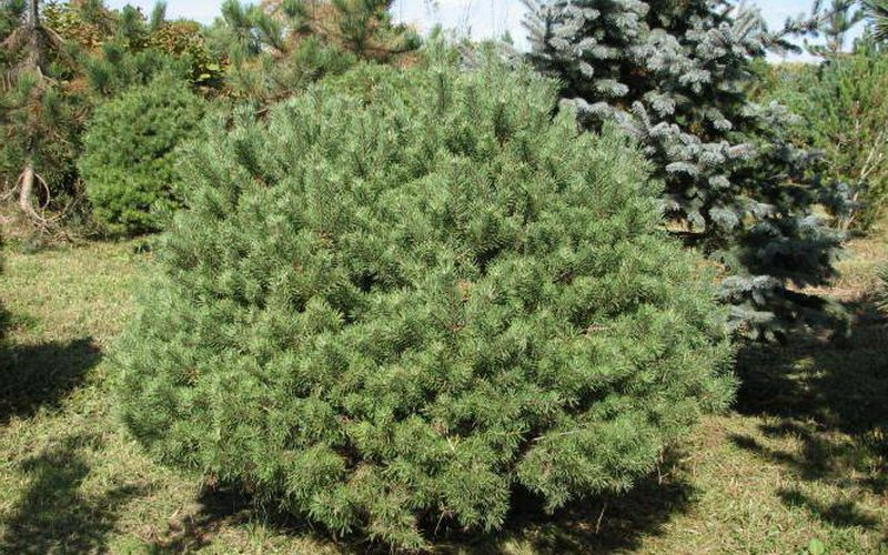 Это формы сосны лесной, или обыкновенной (P. sylvestris)