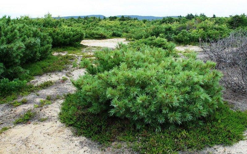 сорта стланиковых видов - Сосна горной (P. mugo)