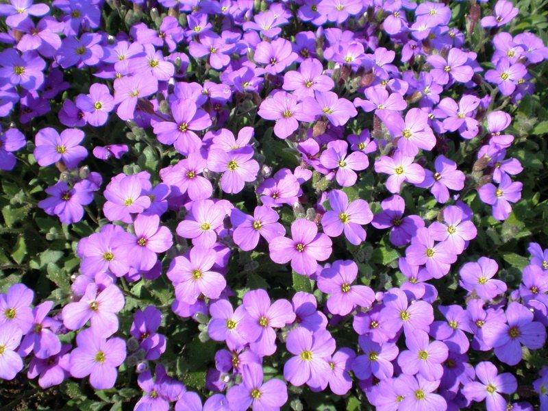 Цветки Аубриета