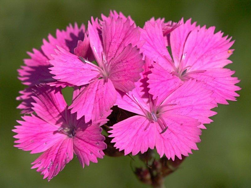 Цветки Гвоздики - Dianthus