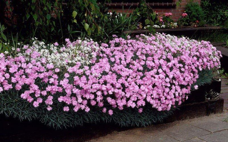 Почвопокровные растения-многолетники для каменистого сада: фото и названия фото