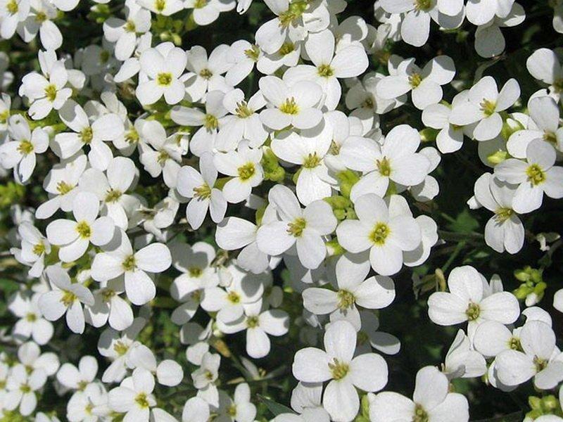 Цветки Двусемянника - Hutchinsia