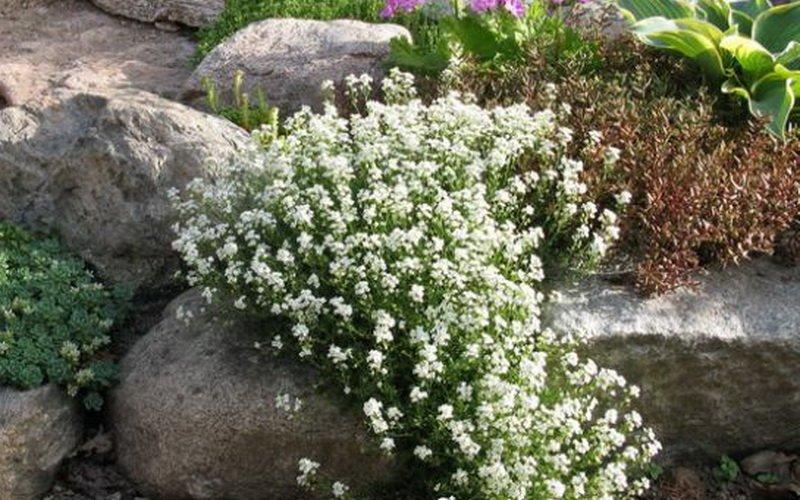 Чаще других видов в рокариях встречается Двусемянник альпийский (Н. alpina), образующий рыхлые ковры.