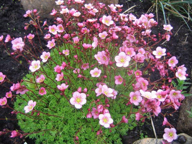 Цветки Камнеломки - Saxifrage
