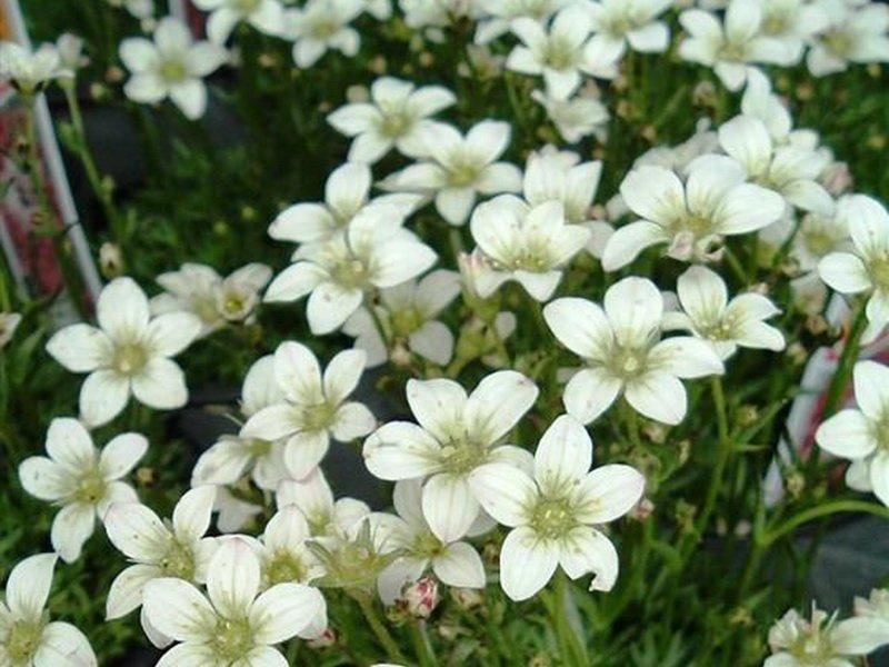 Цветки Камнеломки Арендса (S. х arendsii)