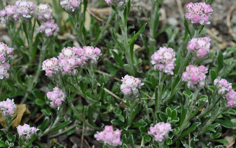Более всего для каменистых садов пригодны формы кошачьей лапки двудомной (A dioica) и близкой к ней - альпийской (A. alpina).