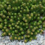 Стелющиеся растения для клумбы