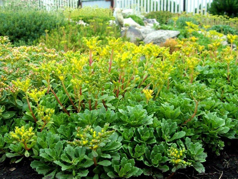 Очиток камчатский (S. kamtschaticum) в дизайне сада